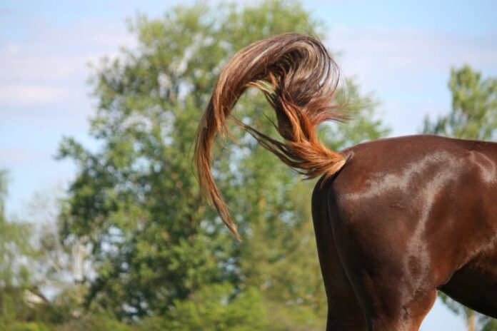 Horse tail pain