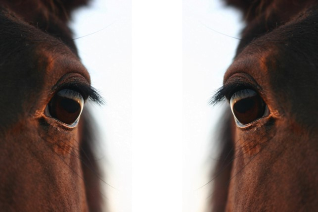 Equine pain face